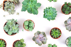 Pattern of mixed succulents plant in pot on white background , o Stock Images