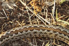 Pattern of moldavian meadow viper. A snakee listed at critically endangered in the IUCN red list  Vipera ursinii moldavica Stock Images
