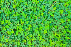 Pattern Oxalis acetosella background nature. Pattern of Wood sorrel or Oxalis acetosella, background nature royalty free stock photography