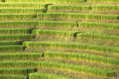 Pattern of paddy field. Pattern of beautiful green paddy field Royalty Free Stock Photography