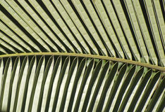 Pattern of a palm leaf Stock Images