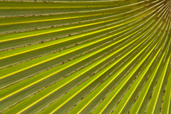 Pattern of palm leaf Royalty Free Stock Image