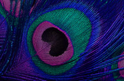 The pattern of a peacock's tail Stock Photography