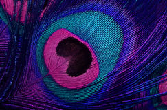 The pattern of a peacock's tail Stock Image