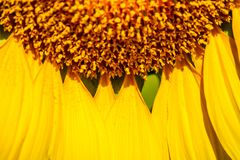 Pattern of petal sunflower with small pollen Stock Photos