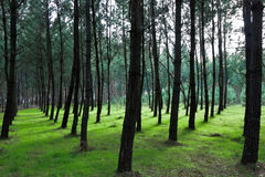 Pattern of Pine Trees on Greeny Grass