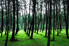 Pattern of Pine Trees on Greeny Grass Royalty Free Stock Photo
