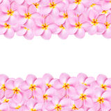 Pattern pink frangipani flower texture for background Royalty Free Stock Photography