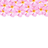 Pattern pink frangipani flower texture for background Royalty Free Stock Photos