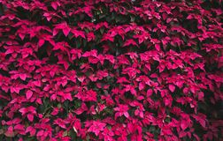 Pattern of poinsettia leafs, red and green Christmas leafs tree stock photos