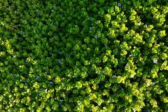 Pattern of the purple flower blooming on the green plants. Beautiful pattern of the purple flower blooming on the green plants Royalty Free Stock Images