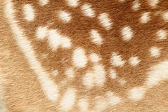 Pattern of real fallow deer spotted fur Royalty Free Stock Photos
