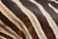 Pattern of real zebra skin. Naturally beauty of real zebra skin Stock Photos