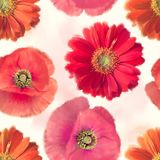 Pattern of red flowers. Seamless   pattern of red flowers Royalty Free Stock Images