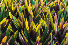 Pattern of the Rhoeo discolor Hance in the morning. Rhoeo discolor Hance is a herb and  ornamental plants. Leaf of it has green and magenta Royalty Free Stock Photography