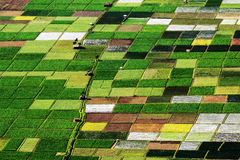 Pattern of ricefield Royalty Free Stock Photo