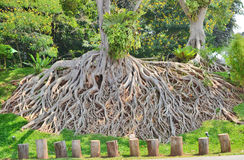 Pattern of roots. Wonderful root on the hill Royalty Free Stock Image