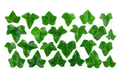 Pattern row of green ivy leaves isolated on white background. Flat lay Royalty Free Stock Photo