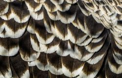 Pattern of ruppells vulture feathers in macro closeup, wildlife background, critically endangered bird specie. A pattern of ruppells vulture feathers in macro royalty free stock image