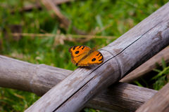 The pattern similar to the eyes on the butterfly wing- Precis almana almana stock images