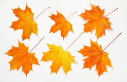 Pattern of six bright, autumn maple leaves on white wooden background.  stock photos