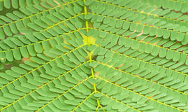 Pattern of Small Bracken Leaves use for background Stock Photo