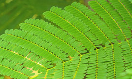Pattern of Small Bracken Leaves use for background Stock Photography