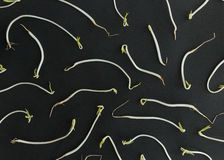 Pattern of soy bean sprouts Royalty Free Stock Photo