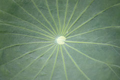 Pattern on the surface of the lotus leaf. Royalty Free Stock Photos