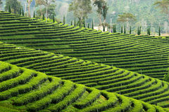 Pattern of tea plantation Royalty Free Stock Photography