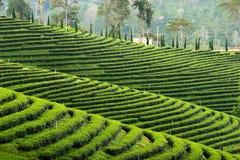 Pattern of tea plantation Royalty Free Stock Photography