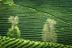 Pattern of tea plantation Royalty Free Stock Photos
