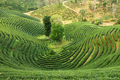 Pattern of tea plantation Stock Images