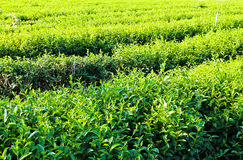 Pattern of tea plantation Royalty Free Stock Photo