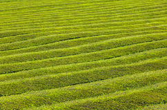 Pattern of tea plantation on Azores islands, Portugal Stock Photography