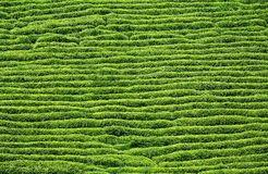 Pattern of tea plantation Stock Images