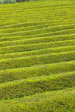 Pattern of tea plantation on Sao Miguel island, Azores, Portugal Royalty Free Stock Image