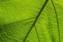 Teak leaves NO.02 stock images
