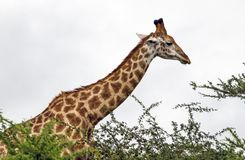 Pattern and Texture of Giraffe Body Against Overcast Sky Stock Photo