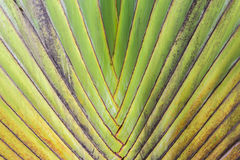 Pattern of traveller's palm tree(Ravenala Madagascariensis) Royalty Free Stock Image