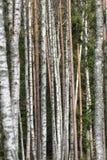 Pattern of tree trunks Stock Photos