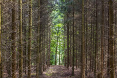 Pattern of trees in forest Royalty Free Stock Photos