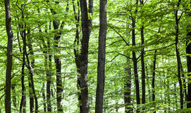 Pattern of trees in forest Royalty Free Stock Images