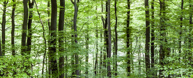 Pattern of trees in forest Royalty Free Stock Image
