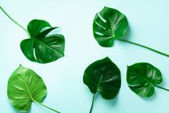 Pattern of tropical monstera leaves on blue background. Flat lay. Top view. Pop art design, creative and exotic summer concept. Mi. Nimal style royalty free stock images