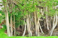 Pattern of Trunk of Banyan tree Stock Images
