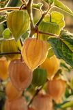 Fresh ripe green and yellow physalis fruits are hanging on Shrub i royalty free stock photo
