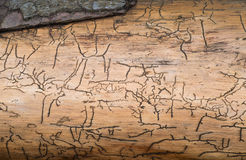 Pattern under the bark of a tree Royalty Free Stock Photos