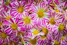 Pattern from Vibrant Gerbera pink white gerbera Flowers Stock Photo
