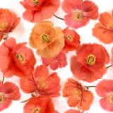 Pattern of watercolor poppy flowers. Seamless   pattern of watercolor poppy flowers Stock Image